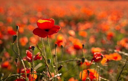 Field or red poppy flowers in Provence ,France.concept remembrance,.