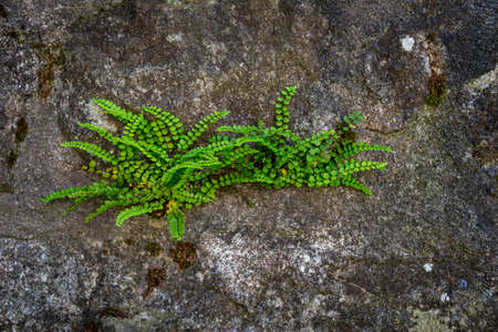 ferns groing out of granite wall, nature texture background.