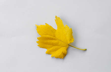 yellow autumn fall leaf isolated on white background