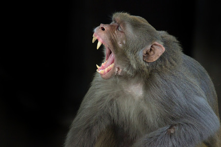 The Rhesus Macaque Monkey sleeping on the tree in its natural habitat. Stock Photo