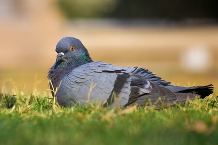 Pigeon sitting on the grass in its natural habitat