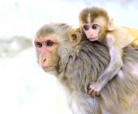 Monkey carrying her baby on her back