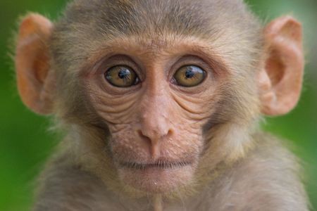The Rhesus Macaque