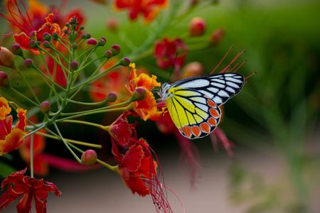 Jezebel butterfly Stock Photo