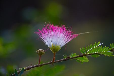 Silk tree flower Stock Photo