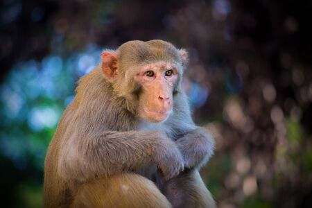 Portrait of a Rhesus Macaque Monkey Looking away Curiously
