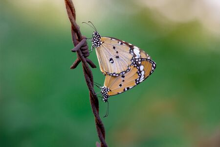 Beautiful Plain Tiger  butterfly sitting on the flower plant with a nice soft background in its natural habitat