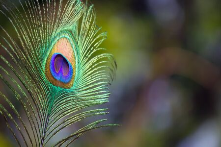 A portrait of a Colorful Peacock Feather