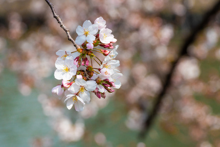 Cherry blossom in spring for background or copy space for text