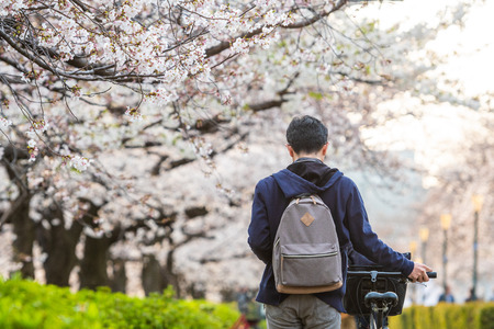 People in japan usually go to park and enjoy the blooming cherry blossom