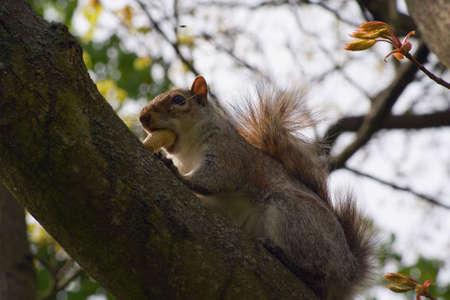 monkey nut: a squirrel sitting in a tree eating a monkey nut