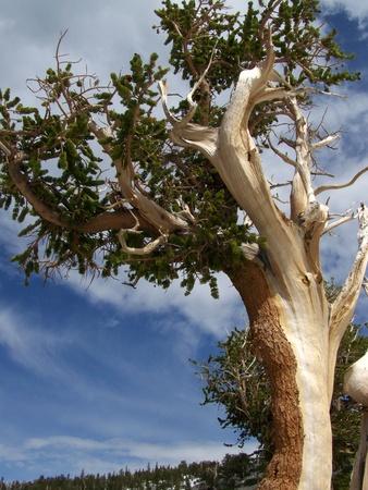 bristlecone: Ancient Bristlecone Pine