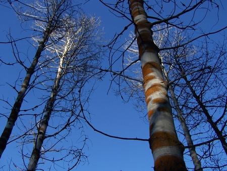 diseased: Diseased Aspen with Orange Fungus with Blue Sky