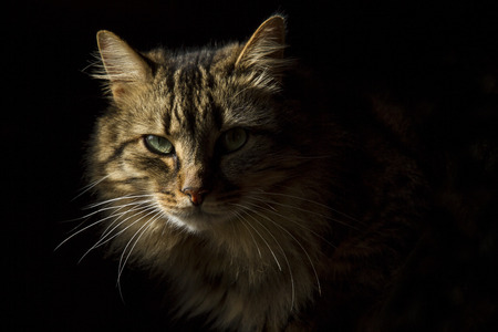 Beautiful long-haired tabby cat on a black background, as if it were emerging from the shadows