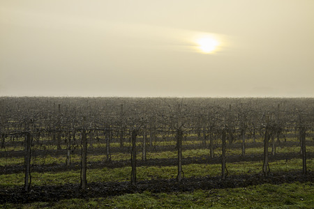 The sick sun struggles to penetrate the gray-white sky of the cold winter morning that envelops the sleeping vineyard Stock Photo