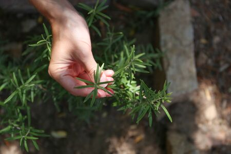 A young woman takes care of a rosemary plant with her hands in her vegetable garden