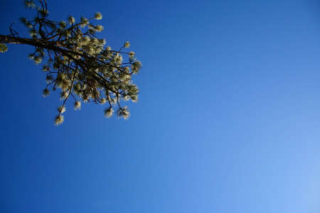 A pine branch surrounded by deep blue sky. photo