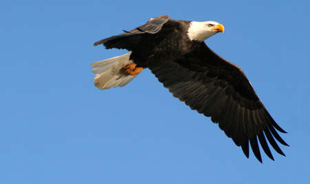 A bald eagle in flight. Stok Fotoğraf