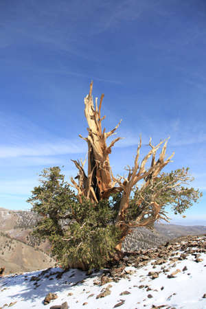 An ancient bristle cone pine tree in California.