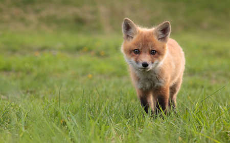 elusive: A lone fox pup in a green grassy field.