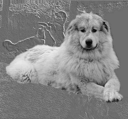 pyrenean mountain dog: Pyrenees mountain dog on grey background