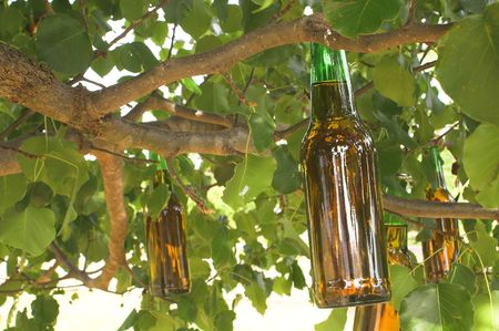 near beer: A beer tree ripe with fresh fruit.