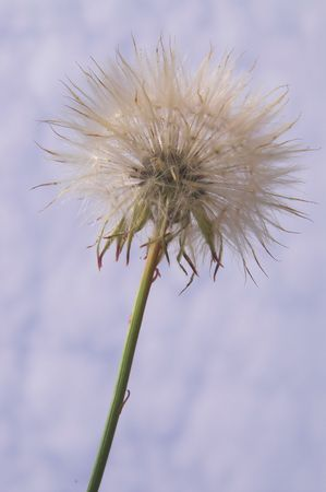 A springtime dandelion weed against a cloudy blue sky. Stock Photo - 970099