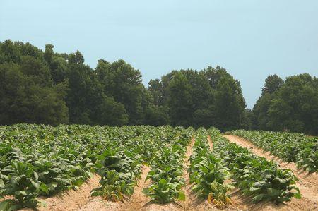 tobacco plants: Healthy tobacco plants on a farm field. Stock Photo