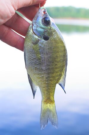 sunfish: A Sunfish, better known as a White Crappie. Stock Photo