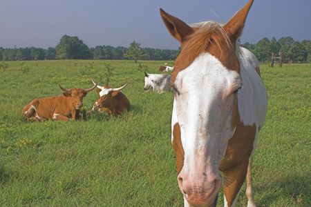 Farm Animals - A horse and longorn cattle. Stock Photo - 1358837