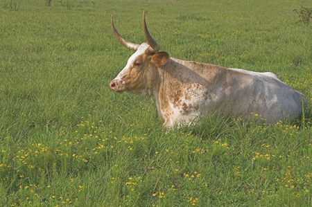 A longhorn steer in a grassy cow pasture. photo