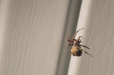 orb weaver: An orb weaver spider in his web.