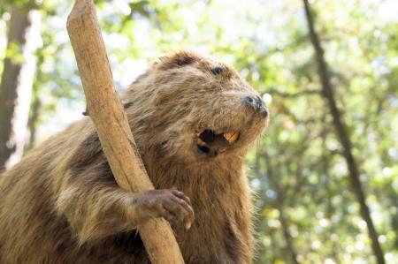 Un castor salvaje tomando un descanso de una vara de mascar.
