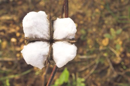 boll: The boll of a cotton plant in a field.