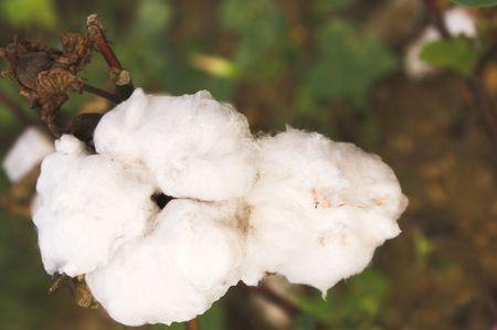 plant gossypium: Le capsule di una pianta del cotone in un campo.  Archivio Fotografico