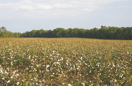 plant gossypium: A field of cotton ready for harvest. Stock Photo