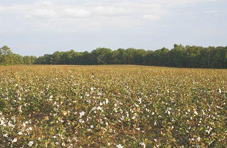 plant gossypium: Un campo di cotone pronto per la mietitura.