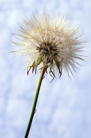 A springtime dandelion weed against a cloudy blue sky. Stock Photo - 2527102