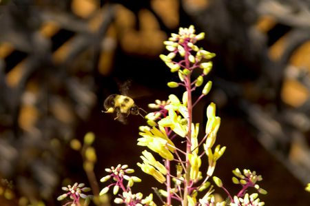 A bumble bee in flight over flowers Stock Photo - 2751324