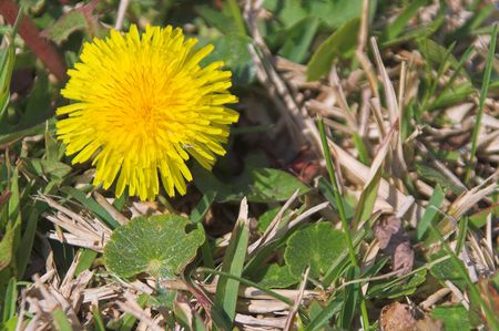 A springtime dandelion weed in a yard. Stok Fotoğraf