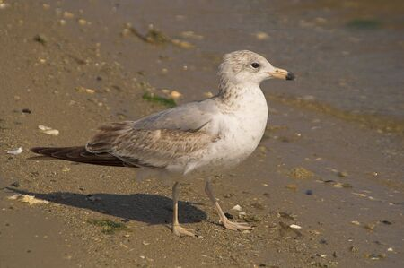 larus: A seagull in the sand by the ocean. Stock Photo