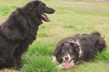 pure bred: A pure bred border collie and a black labrador. Stock Photo