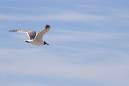 larus: A laughing gull in a coastalwater region.