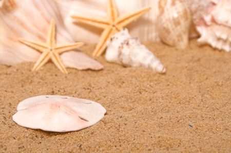 beachcomb: A sand dollar on the shore of the beach.