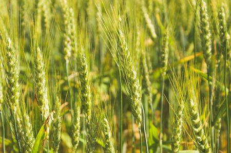 winter wheat: A farm field of green winter wheat. Stock Photo