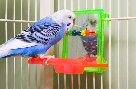 periquito: A verycolorful tropicales y ex�ticos parakeet.  Foto de archivo