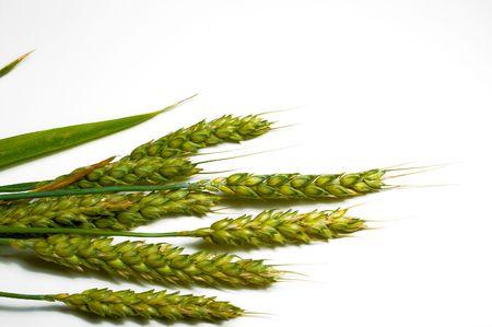 A large farm field of winter wheat. photo