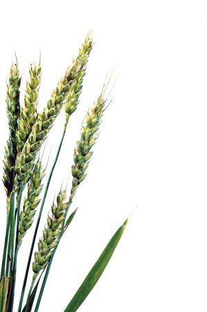 winter wheat: A large farm field of winter wheat. Stock Photo
