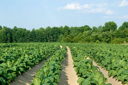 Healthy tobacco plants on a farm field. Stock Photo