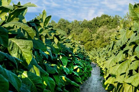 furrow: Healthy tobacco plants on a farm field. Stock Photo